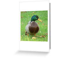 A Mallard Drake Greeting Card
