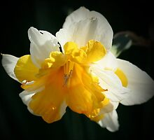 Narcissus by AnnDixon