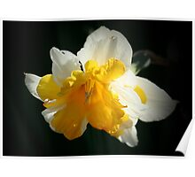 Narcissus Poster