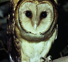 Tasmanian Masked Owl by Peter  Tonelli