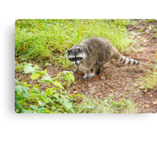 What hole? Racoon Canvas Print