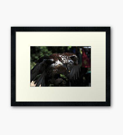Ferruginous Hawk 2 Framed Print
