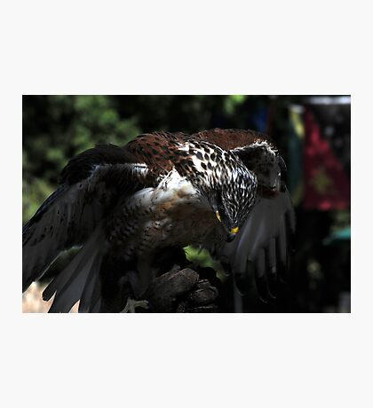 Ferruginous Hawk 2 Photographic Print