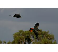 Red Tail Black Cockatoos Photographic Print