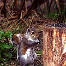 Grey Squirrel with a seed by Trevor Kersley