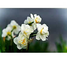 Little White Daffodils Photographic Print