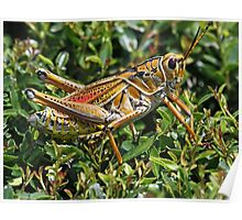 Colorful lubber grasshopper! Poster