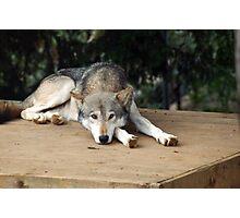 Iberian Wolf  Photographic Print