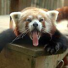 Himalayain Red Panda by Stan Daniels