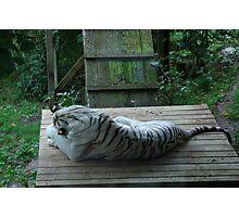 White Bengal Tiger 4 Photographic Print