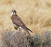 Brown Falcon ~ Patience by Robert Elliott