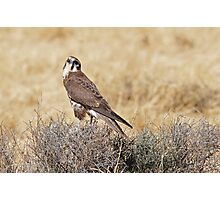 Brown Falcon ~ Patience Photographic Print