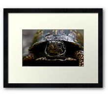 eastern box turtle (terrapene carolina) Framed Print