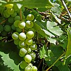 Fruit of the Vine by jansnow