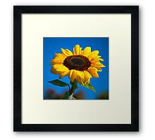 Sunflower challenge Framed Print