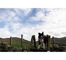 Indy above the sheep Photographic Print