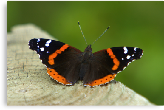 Red Admiral by Lisa G. Putman