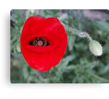 Madeira poppy Canvas Print