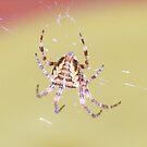 Garden Spider by peyote