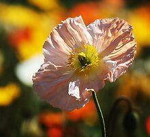 Poppy no1.  by DaveBassett