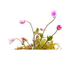 anemone dance Photographic Print