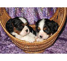 Cavalier Pups In Basket Photographic Print