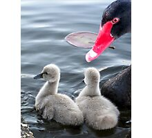 The Black Swan Family Photographic Print