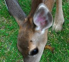 The 'Eyes Have It' fawn by Lenny La Rue, IPA