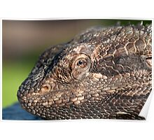 Bearded Dragon close up! Poster