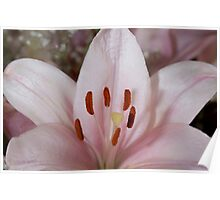 Pink Asiatic Lily Poster