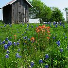 Bluebonnet Outhouse  by Mary Campbell