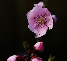 Nectarine Blossom by housenbaby