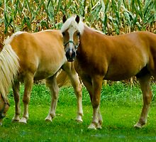 Amish Horses © by Mary Campbell