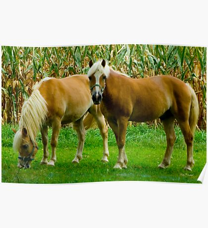 Amish Horses © Poster