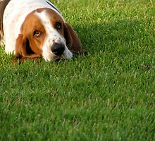 Lazy Basset Hound by Jan  Wall