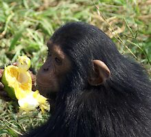 Young Chimp by Rosie Appleton