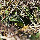 Lacerta viridis by Jörg Holtermann