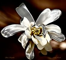 Star Magnolia by owensdp1277