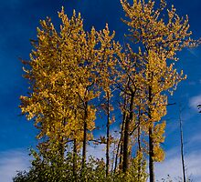 Autunm Poplars by peaceofthenorth