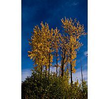 Autunm Poplars Photographic Print