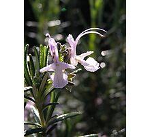 Pink Rosemary Photographic Print