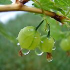 Gooseberries After the Rain by Diane Petker