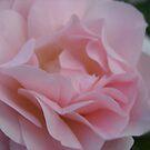 Morden Blush Rose by Diane Petker