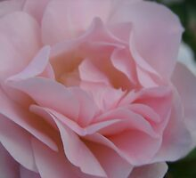 Morden Blush Rose by Diane Petker