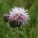 Creeping Thistle by Tess Barnes