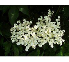 Elderflower Blossom Photographic Print