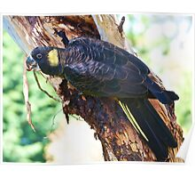 Yellow-tailed Black Cockatoo with Grub Poster
