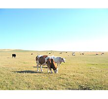 Cows Grazing Photographic Print