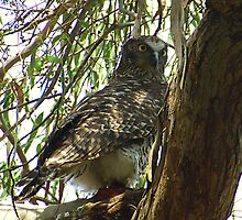 Powerful Owl Family 6 by Biggzie