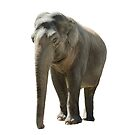Isolated young african elephant on white by peterwey